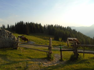 Krávy u chaty Stulhalm