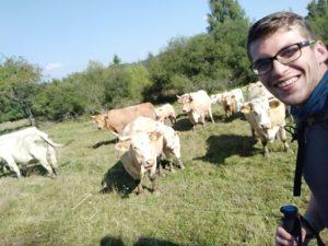Šumava – krávy